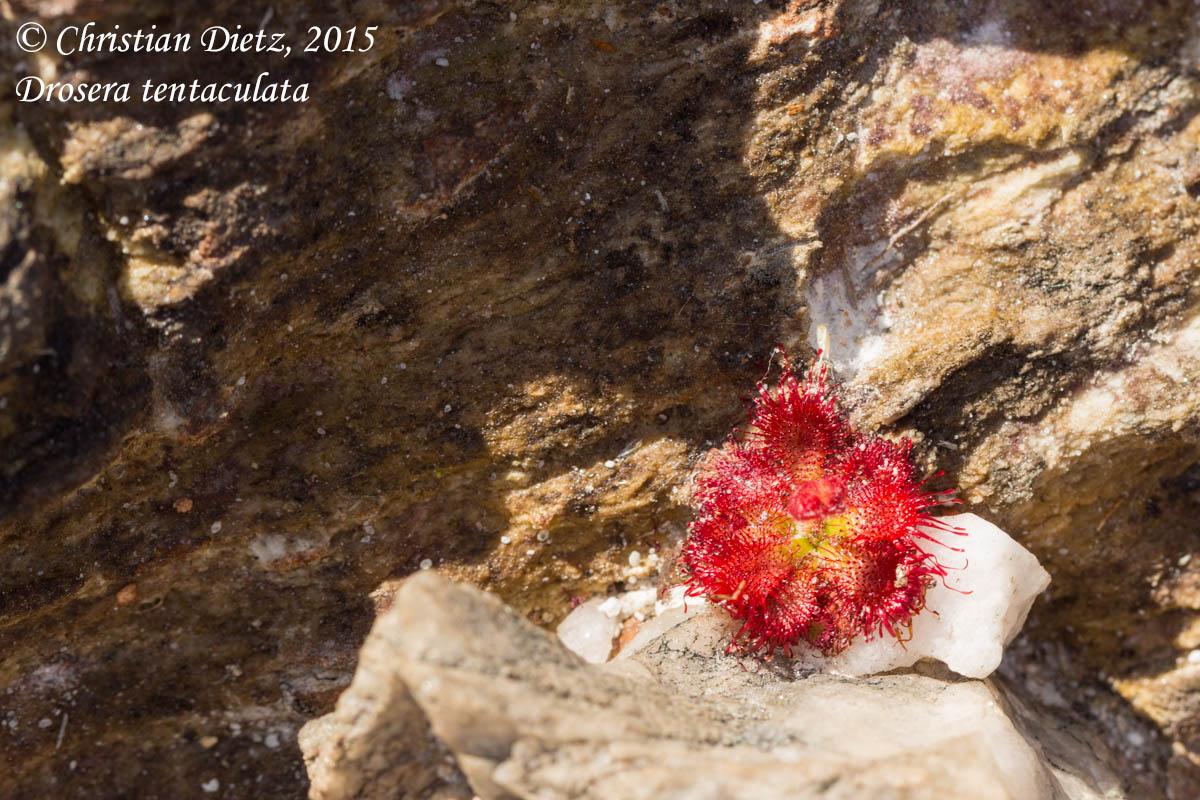 IMG_0594-drosera_tentaculata.jpg