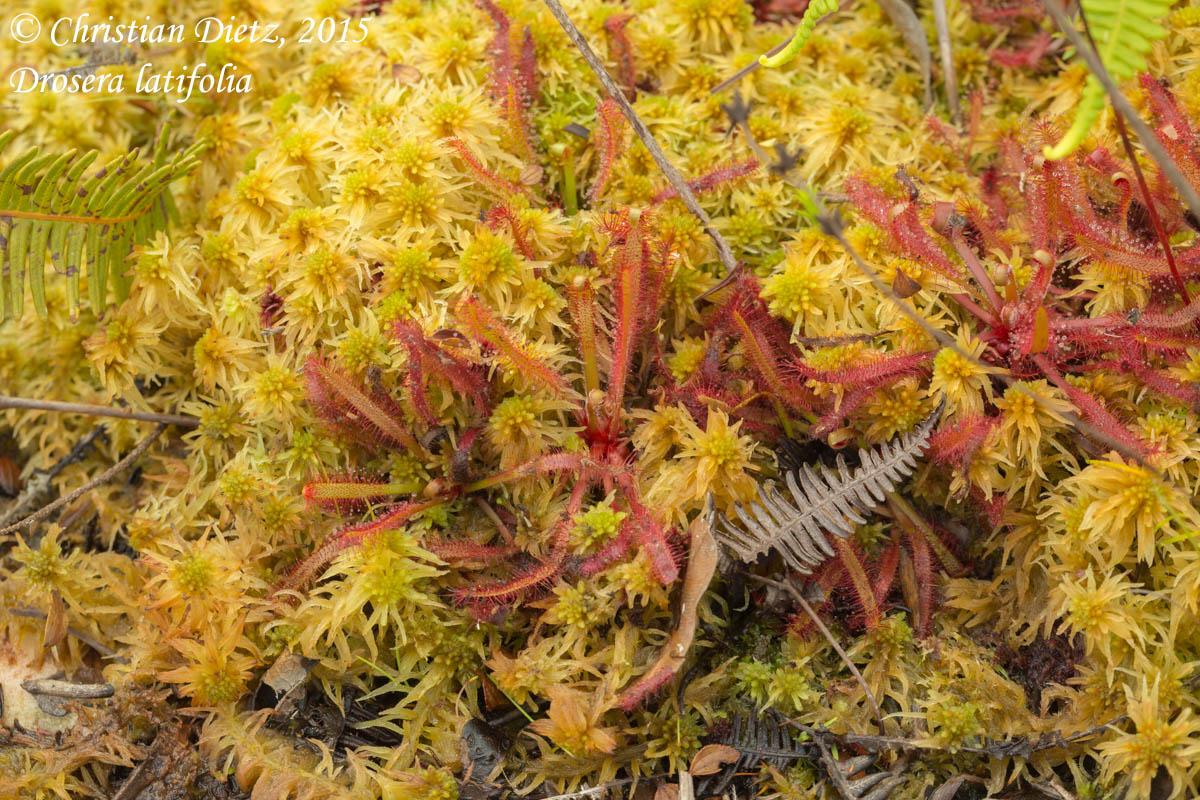 IMG_1656-drosera_latifolia.jpg
