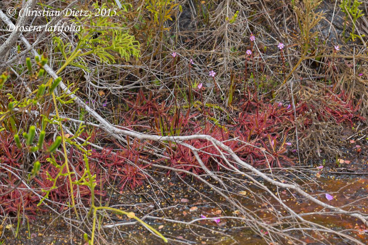 IMG_1716-drosera_latifolia.jpg