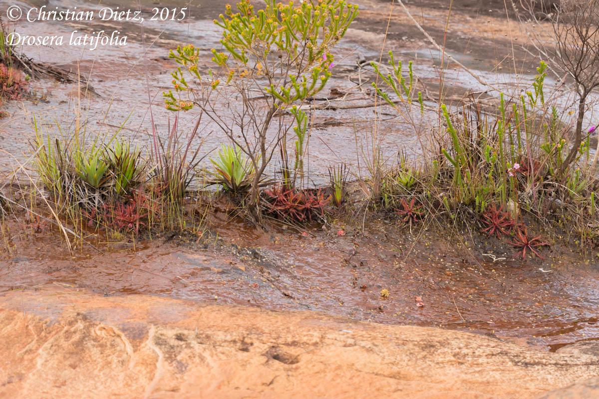IMG_1799-drosera_latifolia.jpg