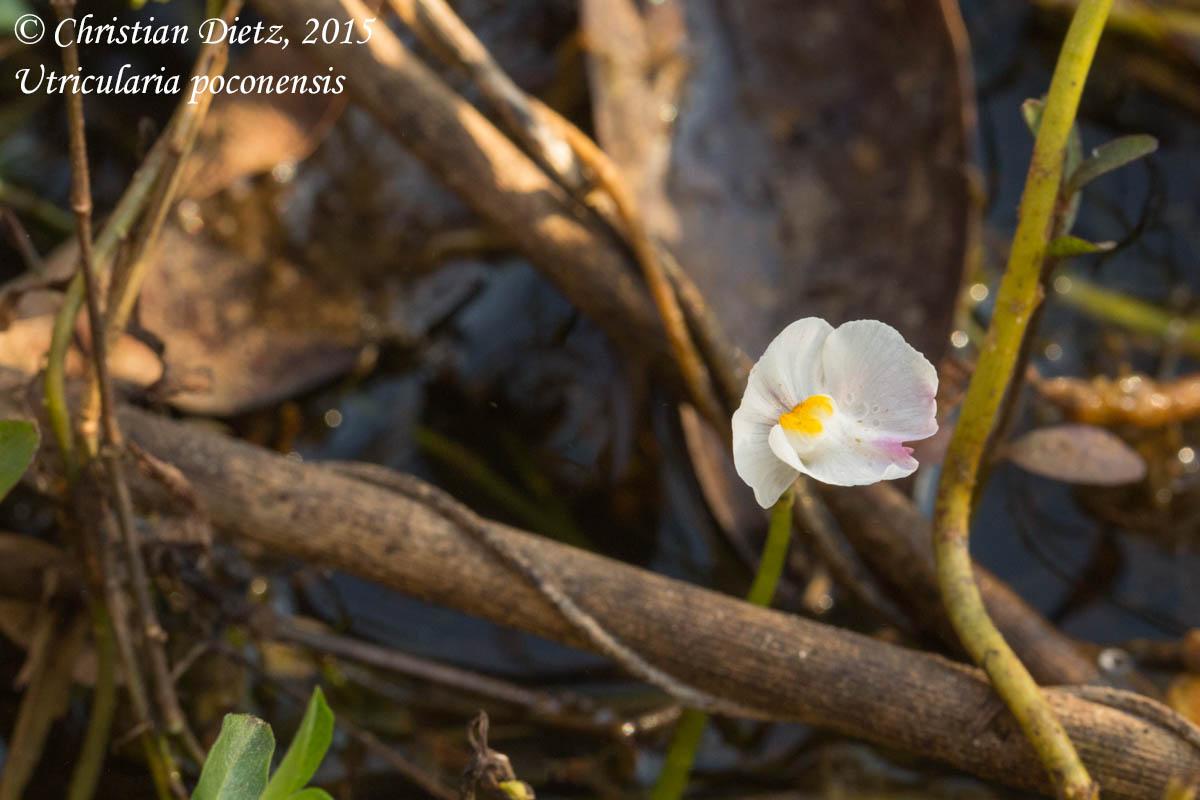 IMG_6524-utricularia_poconensis.jpg