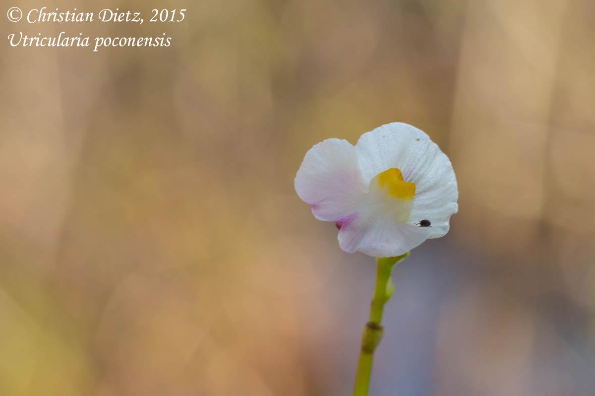IMG_6548-utricularia_poconensis.jpg