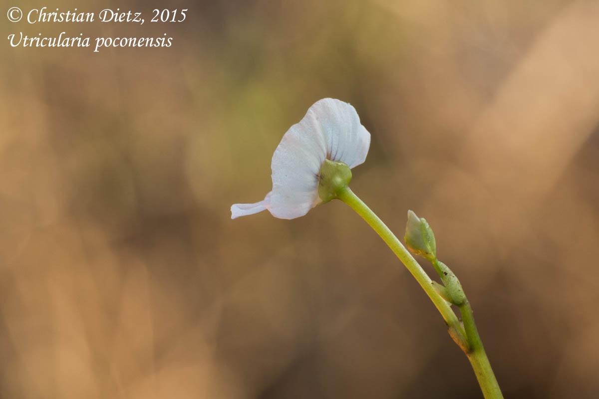 IMG_6554-utricularia_poconensis.jpg