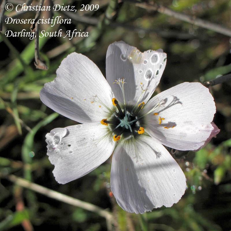 IMG_0905-drosera_cistiflora.jpg