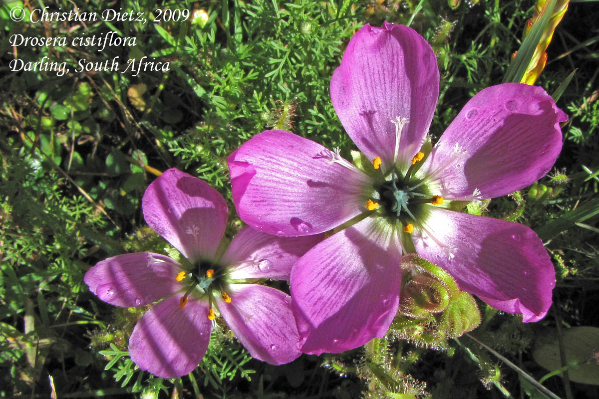 IMG_1060-drosera_cistiflora.jpg