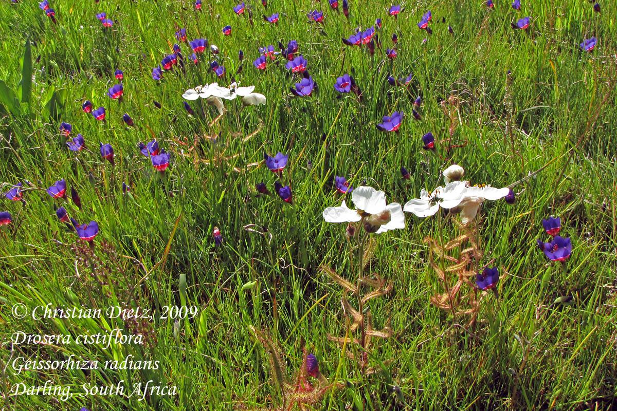 IMG_1107-drosera_cistiflora-geissorhiza_