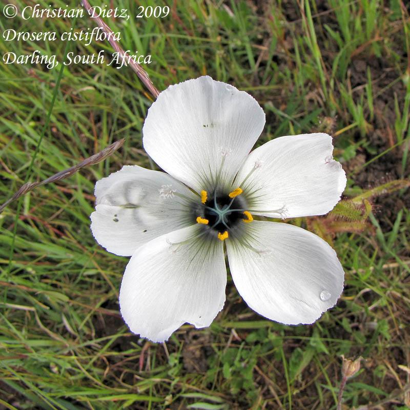 IMG_1135-drosera_cistiflora.jpg