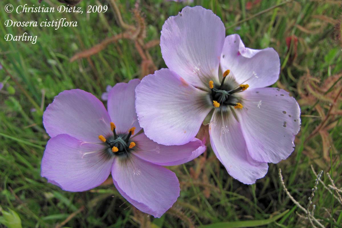 IMG_1150-drosera_cistiflora.jpg