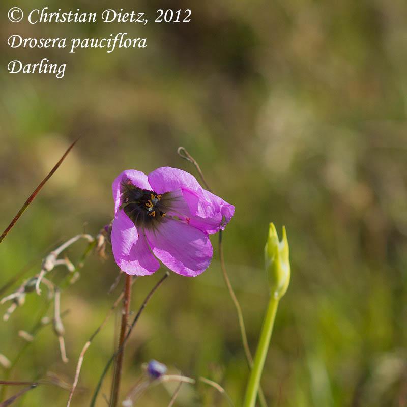 IMG_0425-drosera_pauciflora.jpg