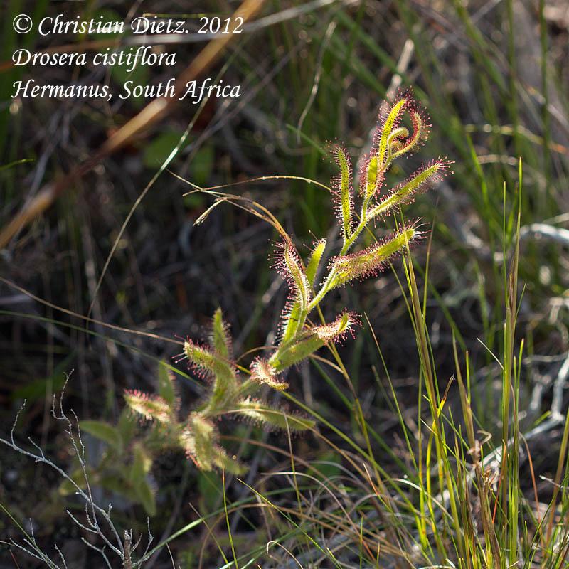 IMG_2404-drosera_cistiflora.jpg