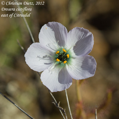 <i>Drosera cistiflora</i> - Citrusdal