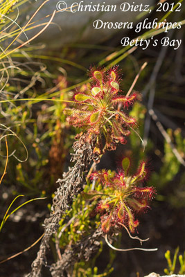 <i>Drosera glabripes</i> - Betty's Bay