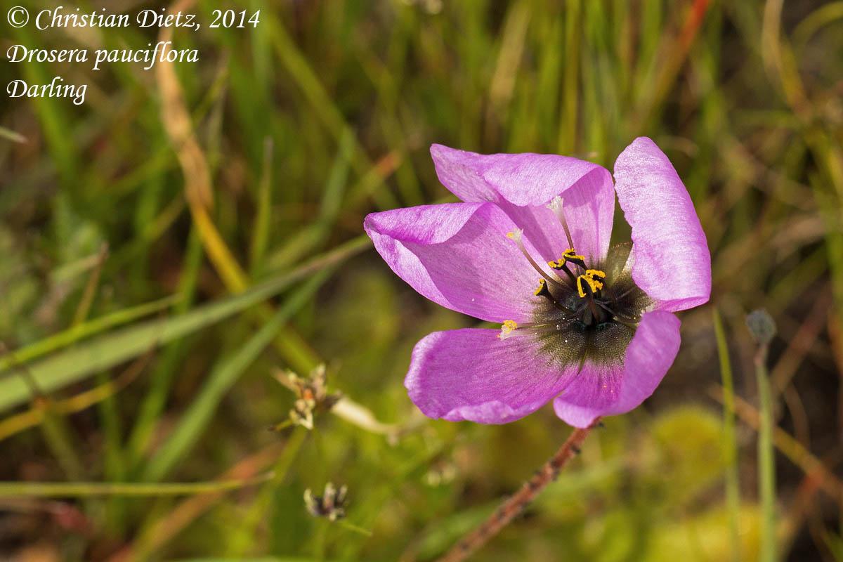 IMG_0886-drosera_pauciflora.jpg