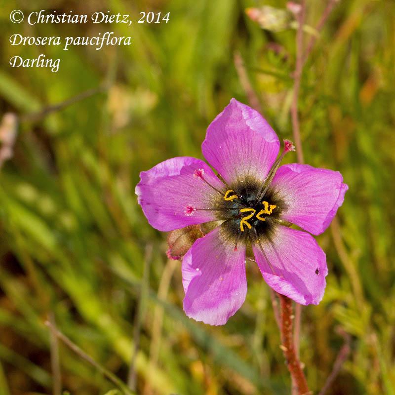 IMG_0898-drosera_pauciflora.jpg