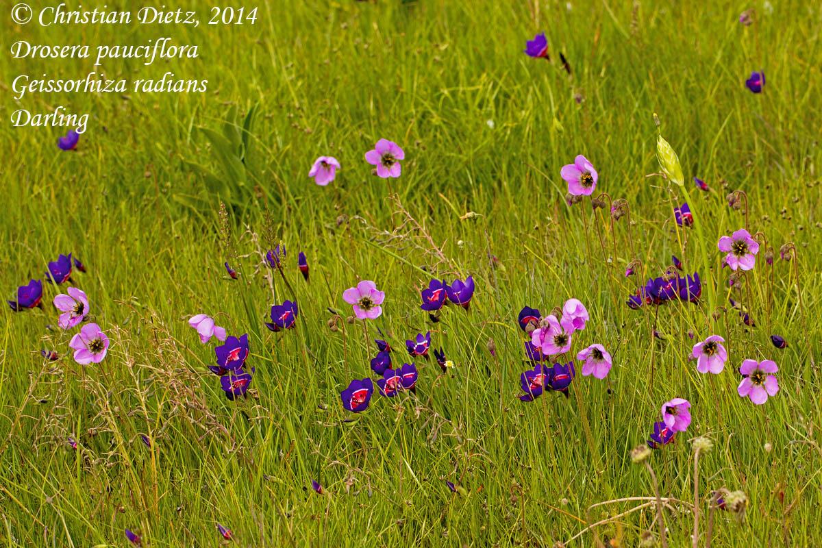 IMG_0913-drosera_pauciflora_geissorhiza_