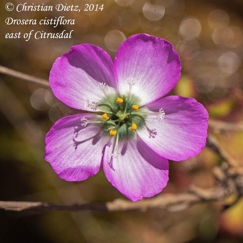 IMG_2181-drosera_cistiflora.jpg
