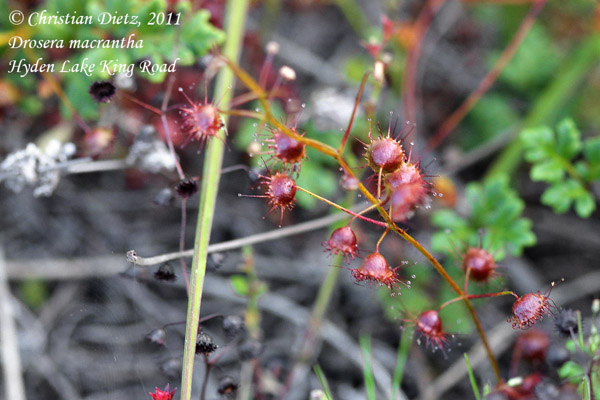 <i>Drosera macrantha</i> - Hyden Lake King Road