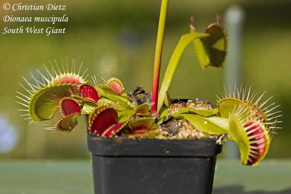 Dionaea muscipula South West Giant